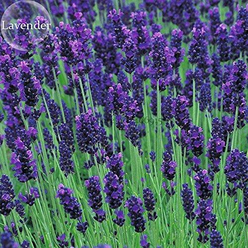 - 2018 Hot Sale Hidcote Blue Provence Lavender, 20 Seeds, Fragrant Cut Flowers E3726