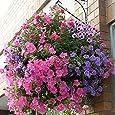200pcs raras colgantes semillas de la petunia flores Semillas de flor real para jardín Planting Seeds Bonsai Petunia plantas en macetas hermoso cielo azul