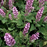 Plant World Seeds - salvia sclarea Seeds
