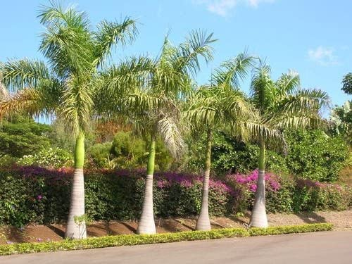 Roystonea regia Royal Palm Seeds