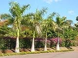 Roystonea regia Royal Palm Seeds