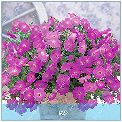 Amazon com : ZLKING 100 Pcs/pack Chinese Colorful Morning Glory