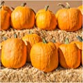 Package of 100 Seeds, Connecticut Fields Pumpkin (Cucurbita pepo) Non-GMO Seeds by Seed Needs