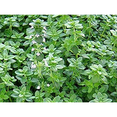 "LIVE Thyme (English) Herb Plant - Organic NON-GMO - 2 (TWO) Plants Fit 3.5"" Pot : Garden & Outdoor"