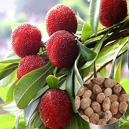 10 Pieces Red Bayberry Seeds, Sweet Delicious Fruits Tree Seeds for Farm Garden (Bayberry Farm)