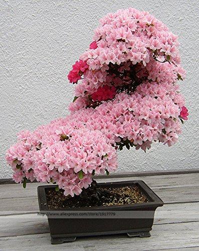 Árbol de los bonsais semillas de sakura japonés. raras cerezo japonés Flores de semillas de flores en bonsai, rosa semillas de Prunus Serrulata15 / pack: ...
