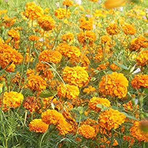 50pcs Marigold Seeds Orange Tagete Erecta Original Packaging Flower Seed