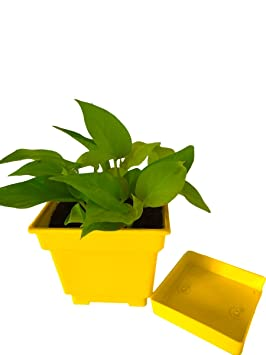 Rolling Nature Good Luck Golden Pothos in Yellow Square Colorista Pot Ornamental & Shade Trees at amazon