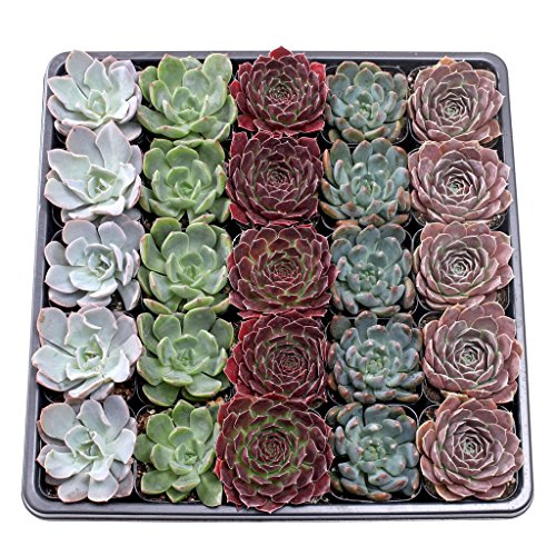 Mountain Crest Gardens AZ002500 Premium Succulents, 2'', Assorted by Mountain Crest Gardens