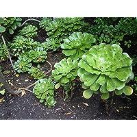 Portal Cool Aeonium Undulatum ~ acechado Aeonium Evergreen Suculento ~ Rare 10 Semillas ~