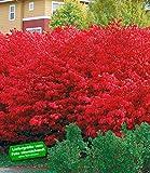 BALDUR-Garten Euyonimus Compact 'Burning Bush' Spindelstrauch, 3 Pflanzen