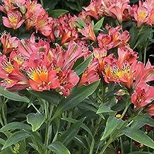 10 Bulb of Alstroemeria Inca Joli - Peruvian Lily or St. Martin's Flower