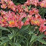 50 Bulb of Alstroemeria Inca Joli - Peruvian Lily or St. Martin's Flower