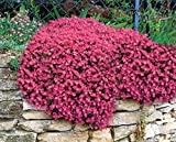 300 Aubrieta Seeds - Cascade red - FLOWER SEEDS, PERENNIAL , DEER RESISTANT