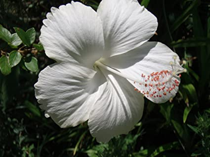 Nelesa Gardening Live Dwarf Hibiscus Flower Plant White Amazonin