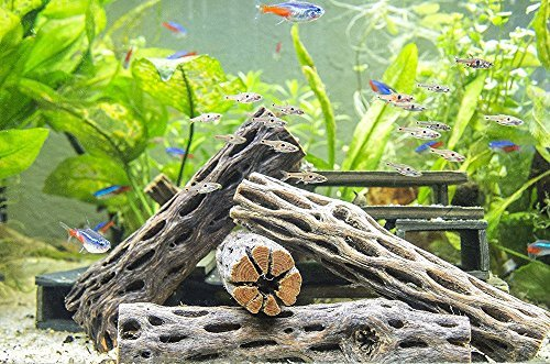 3 Nice Pieces of Cholla Wood 5 inches, Aquarium Driftwood Decoration (By Kazen Aquatic) BEST PRICE & Low shipping cost by Kazen Aquatic