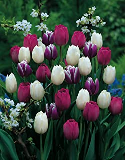 Purple Rain Mix Tulip 20 Bulbs   Lush Violet Hues U0026 White   12/+