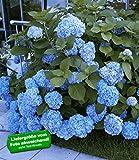 BALDUR-Garten Bauern-Hortensien 'Générale Vicomtesse de Vibraye®', Hydrangea macrophylla, 1 Pflanze