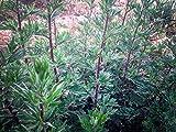 Certified Organic Bulk Oriental Mugwort Seeds (~1,400): Non-GMO Heirloom Packet