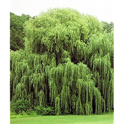 Beautiful Arching Canopy 2 Golden Weeping Willow Trees - Easy to Grow Weeping Willow Tree Cuttings: Home & Kitchen