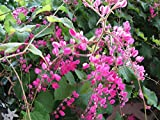 9EzTropical - Coral Vine - Antigonon leptopus - HOA Tigon - 2 Feet Long - Ship in 1 Gal Pot
