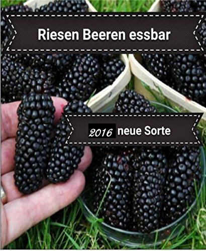 25x Riesen Beeren Samen Hingucker Pflanze Rarität Obst essbar lecker (Brombeere) #125