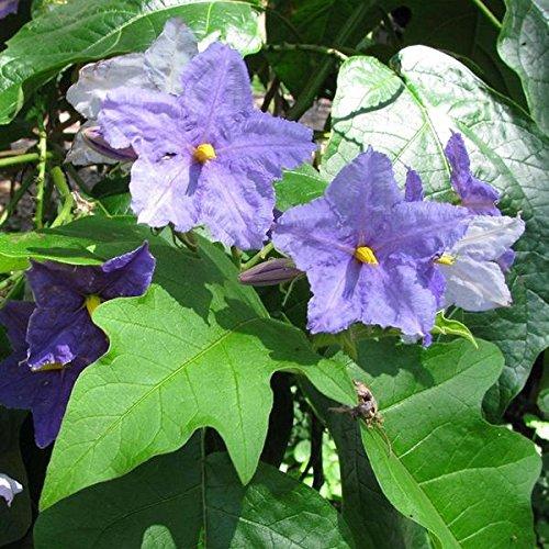 Brazilian Giant Star Potato Tree Seeds (Solanum macranthum) 10+ Rare Tropical Flowering Tree - Tree Potato