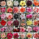 2018 Hot Sale!! Maslin Adenium Mix 36 Types Bonsai Desert Rose Seeds 100pcs Include Red Black White Pink Yellow Orange Bi-Color Garden Flower