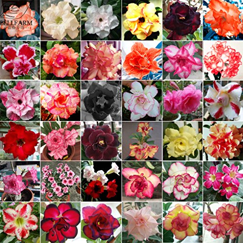 2018 Hot Sale!! Maslin Adenium Mix 36 Types Bonsai Desert Rose Seeds 100pcs Include Red Black White Pink Yellow Orange Bi-Color Garden Flower by Maslin Adenium Seeds