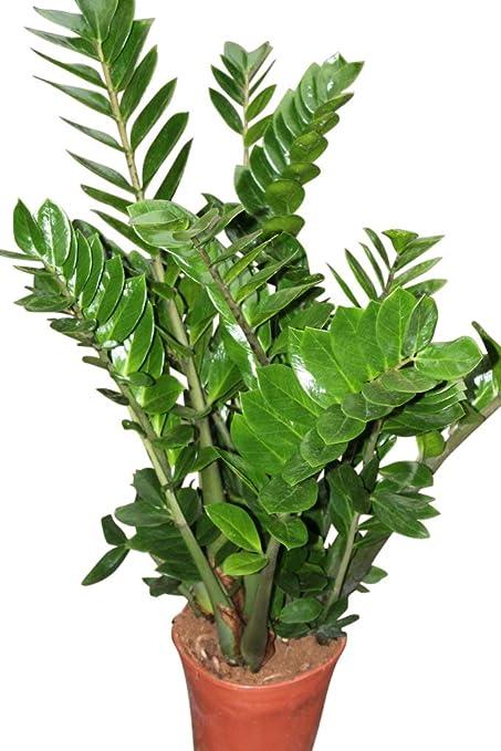Plantas de interior - Para la casa o la oficina - Zamioculcas ...