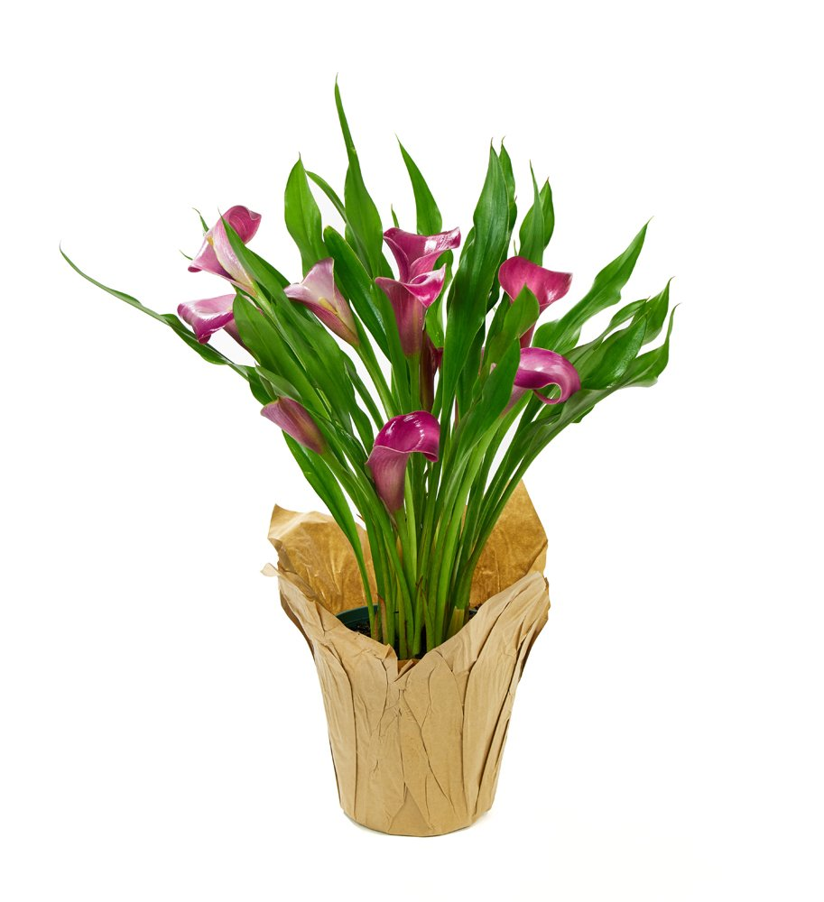 KaBloom Live Plant Collection: 15'' Purple Calla Lily Plantin a 4.5'' Kraft Covered Pot