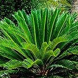 LISRUI Cycas Revoluta Thunb Seeds, Orange Sago Palm Seed, Gardening Bonsai Planting Home Garden Decoration Seeds for Planting, 1pc