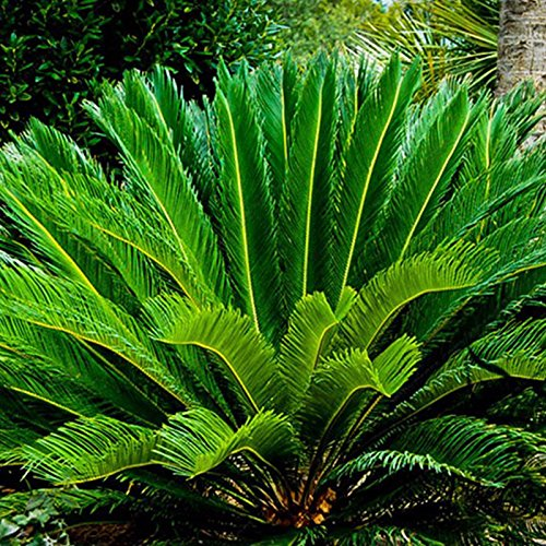 LISRUI Cycas Revoluta Thunb Seeds, Orange Sago Palm Seed, Gardening Bonsai Planting Home Garden Decoration Seeds for Planting, 1pc