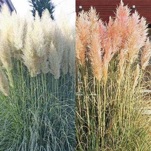Pampasgras Kombination rosa und wei/ß 8 pflanzen