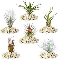 Tillandsia Mix – 5 plantas – Planta de aire interior para vivienda terrario