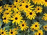 Rudbeckia Fulgida Goldstrum Black Eyed Susan Heirloom Seeds