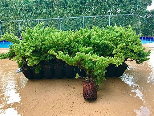 Juniper Procumbens Nana Qty 60 Live Plants Groundcover by Florida Foliage (Image #8)