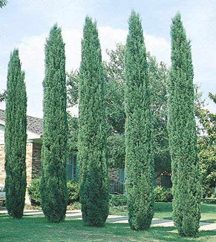Italian Cypress Tree (Cupressus ) - 4 Inch Pot