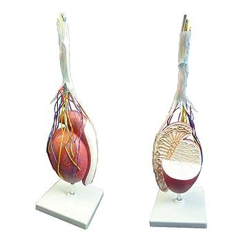 Hodenmodell, Hoden, Nebenhoden, Anatomie Modell, 3,5-fache Größe ...