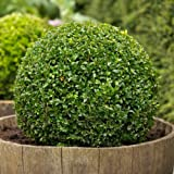 100 Seeds - Boxwood, Buxus sempervirens, Seeds, (Hardy Evergreen, Topiary, Hedge, Bonsai)