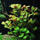 Ludwigia Repens - Easy Freshwater Aquarium Plant