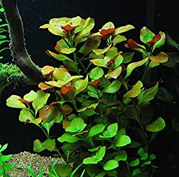 30+ Stem Aquarium Plants Bundle - 8 Species - Anacharis, Amazon, Rotala, Ludwigia and more!