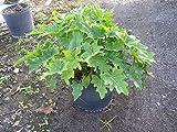 Philodendron bipinnatifidum, Split-Leaf Philodendron - 7G