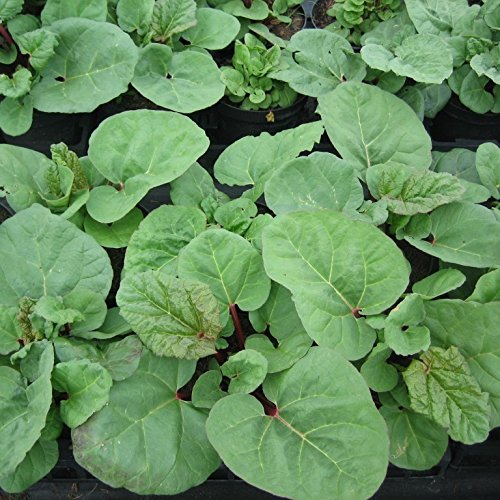 Rhabarber Pflanze Fultons Strawberry Surprise erdbeerrote Stiele im 2 Liter Topf