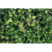 "Hirt's Baltic English Ivy 8 Plants - Hardy Groundcover -1 3/4"" Pots"