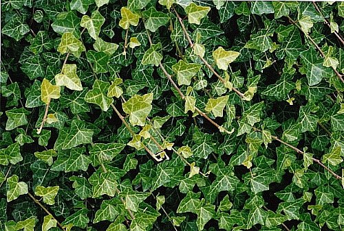 Hirt's Baltic English Ivy 8 Plants - Hardy Groundcover -1 3/4