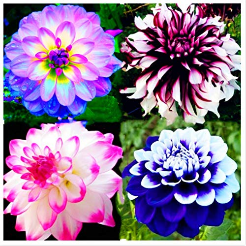 AGROBITS 50pcs/Bag Bonsai Dahlia Flower (not Dahlia Bulbs) Dahlia pinnata Beautiful Flowers for Home Garden Planting: Mix