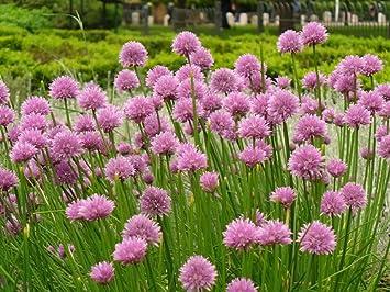 Jardín de hierbas cebolletas 100 semillas, 550 mg