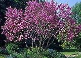 Judas Tree Seeds (Cercis siliquastrum) (100)