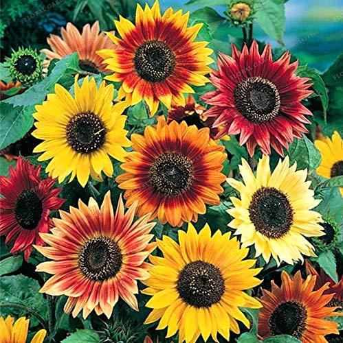 20 Francés girasol -Fácil de crecer y hacer su hermoso jardín de ...